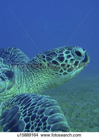 Stock Photo of Green turtle (Chelonia mydas). Abu Dabbab, Red Sea.