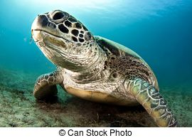 Green sea turtle Illustrations and Clipart. 940 Green sea turtle.