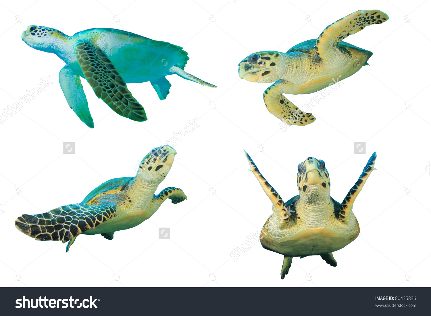 Sea Turtles On White Background Top Stock Photo 80435836.