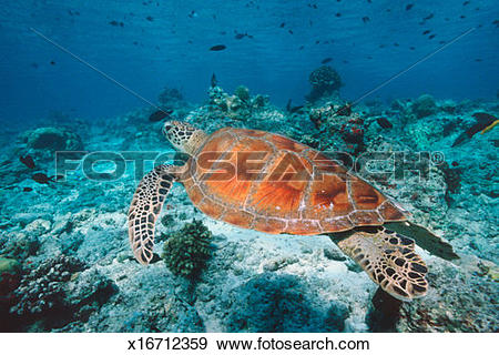Stock Photograph of Green turtle (Chelonia mydas) swimming over.