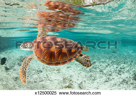 Stock Image of Green sea turtles (Chelonia mydas) in large lagoon.