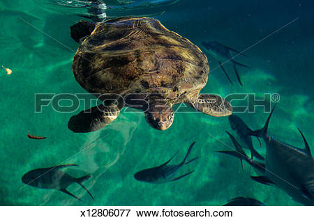 Picture of Green sea turtle (Chelonia mydas) near surface of water.