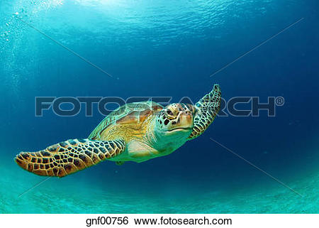 Stock Images of Philippines, green sea turtle (Chelonia mydas.