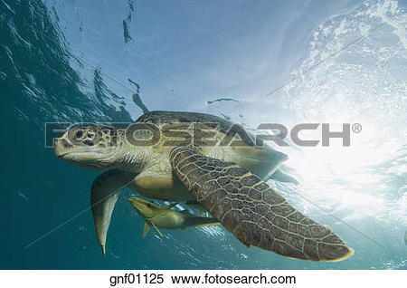 Stock Image of Egypt, Red Sea, Green sea turtle (Chelonia mydas.