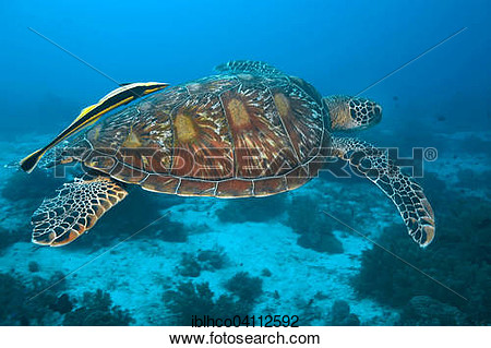 Sea turtle live clipart.