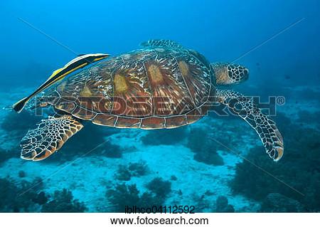 Sea turtle live clipart.