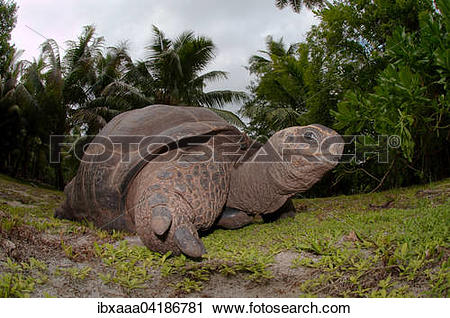 Stock Photography of Galapagos Tortoise (Chelonoidis nigra), Denis.
