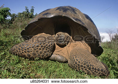 Stock Photography of Giant tortoise, Geochelone nigra, Volcan.