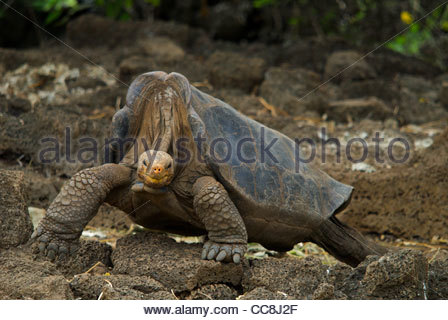 Testudinidae Stock Photos & Testudinidae Stock Images.
