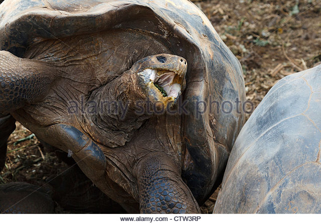 Tortoise Mouth Stock Photos & Tortoise Mouth Stock Images.