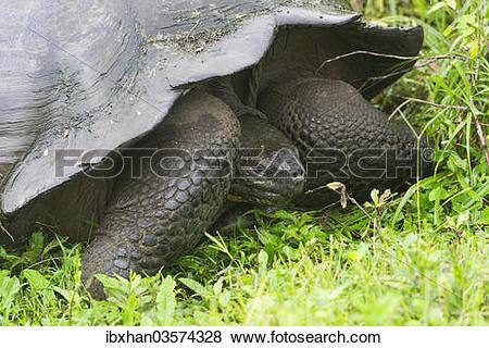 """Pictures of """"Galapagos Giant Tortoise (Chelonoidis nigra), Santa."""