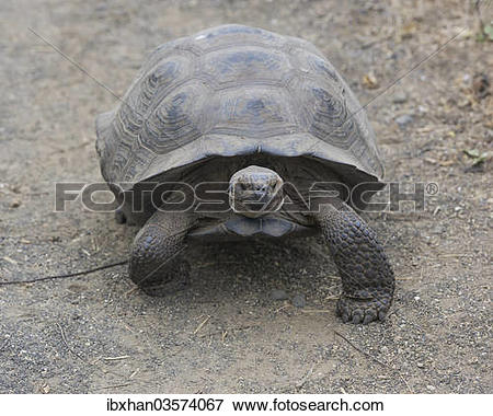 "Picture of ""Galapagos Giant Tortoise, Cerro Azul subspecies."
