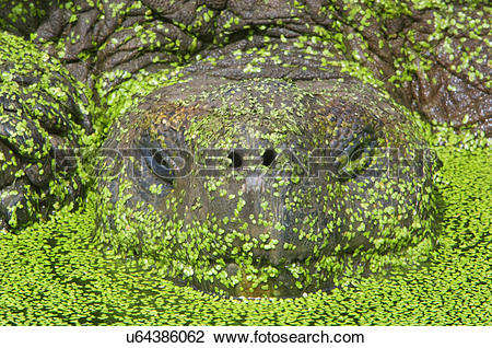 Stock Photo of Giant tortoise in pond covered with water plants.