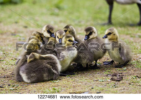 Stock Photography of Canada Goose (Branta canadensis) goslings at.