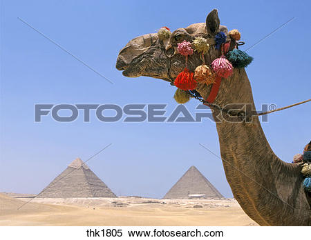Stock Image of Camel over Cheops Chephren Micerinus pyramids.
