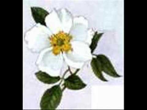 Cherokee Rose Drawing at GetDrawings.com.