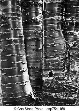 Stock Photographs of Tibetan Cherry bark.