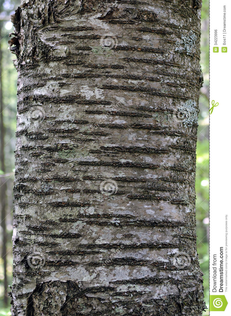 Bark Of Wild Cherry (Prunus Avium) Royalty Free Stock Image.