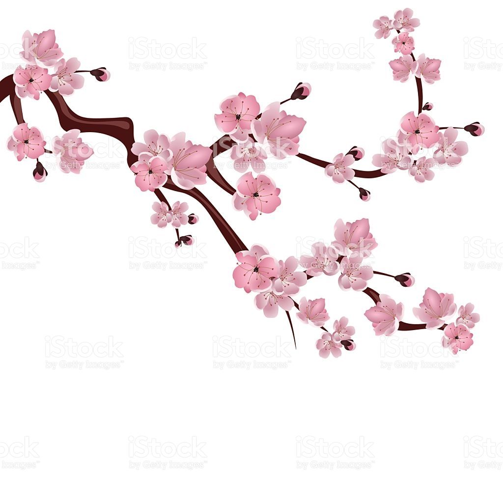 Japanese Cherry Blossom Illustration.