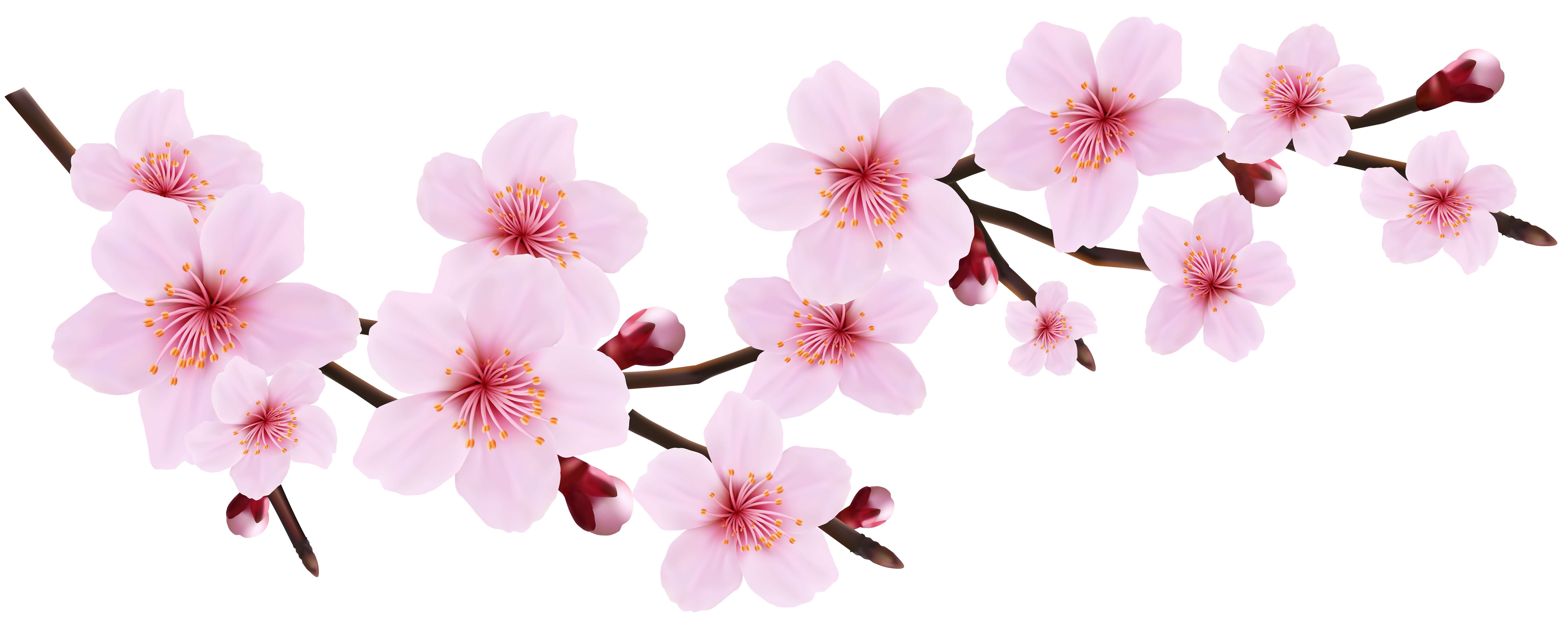 Cherry Blossom Clipart Transparent.