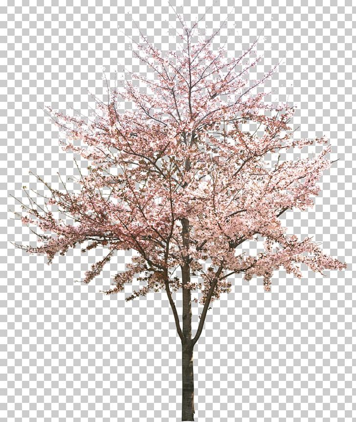 Cherry Blossom Tree PNG, Clipart, Apricot, Blossom, Branch, Cherry.