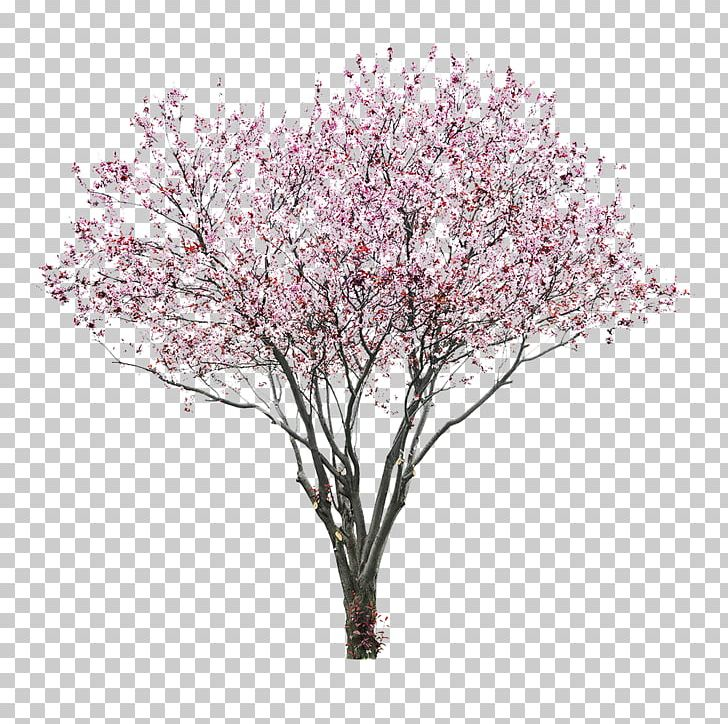 Cherry Blossom Tree East Asian Cherry PNG, Clipart, Blossom, Branch.