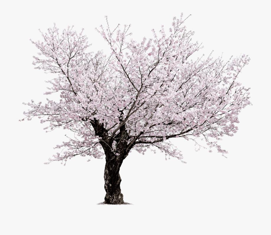 Japanese Cherry Blossom Tree Clipart.