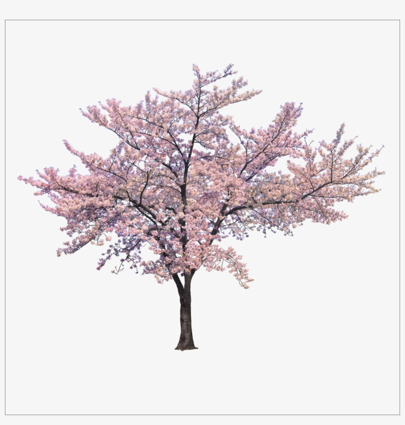 Blossom Cherry Tree Trees Branch Png File Hd Clipart.