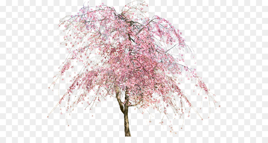 Cherry Blossom Tree png download.