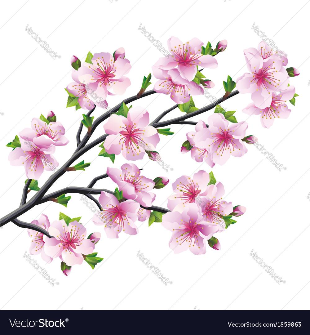 Japanese tree sakura cherry blossom.