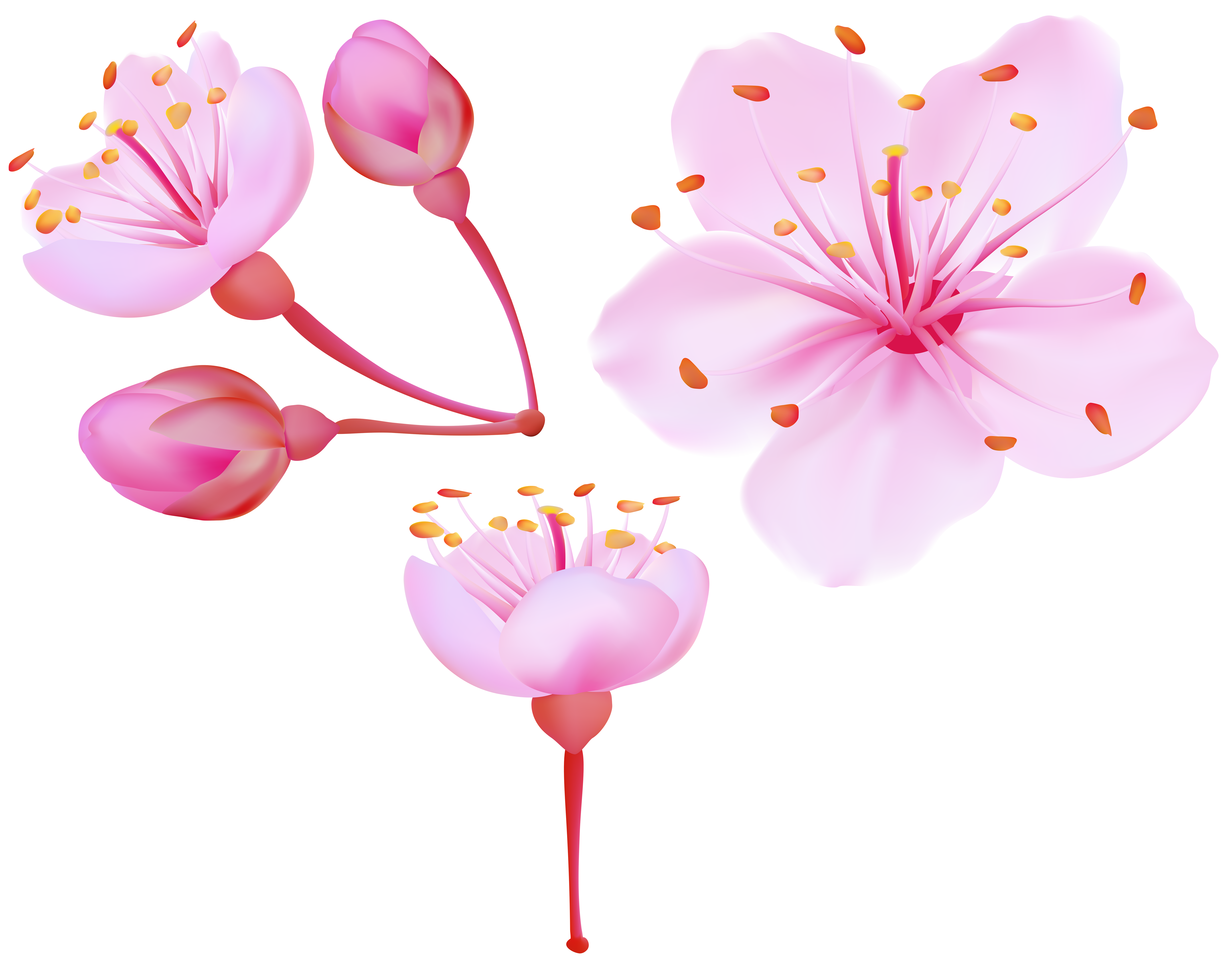 Spring Cherry Blossoms PNG Clip Art Image.