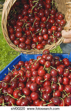 Stock Photography of Cherry harvest, close up shf00220.