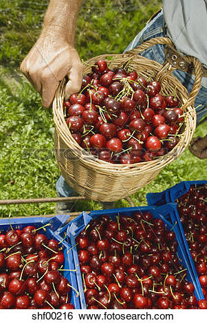 Stock Images of Cherry harvest, close up shf00216.