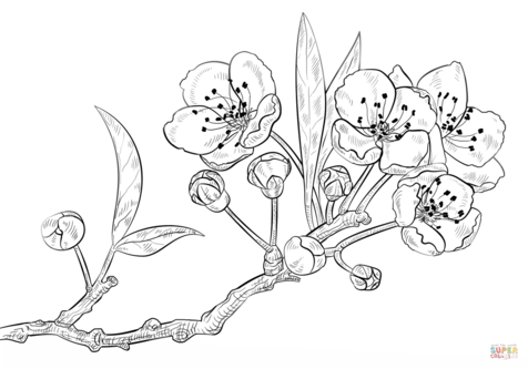 Cherry Blossom Coloring Sheets coloring page, coloring image.