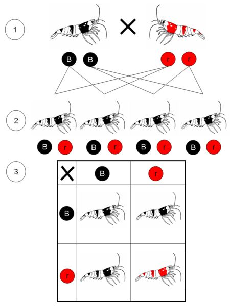 Mendelian inheritance for Red and Black Bee Shrimp.