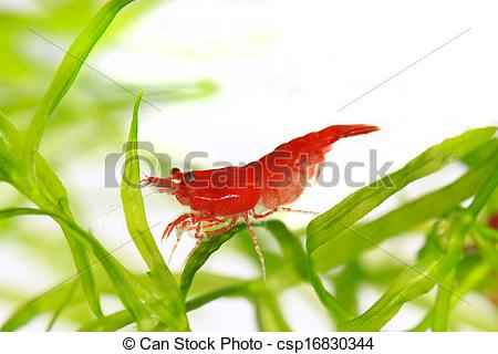Stock Photo of red cherry shrimp csp16830344.