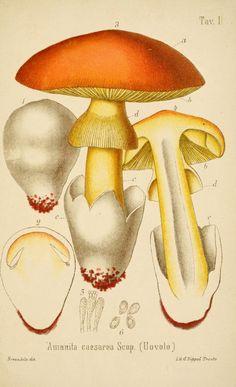 Auricularia tabacina. Coloured figures of English fungi or.