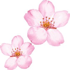 Japanese cherry blossoms clipart #6