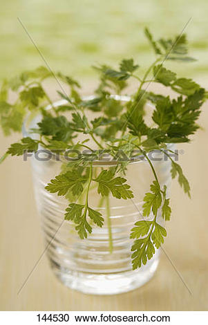 Stock Photography of Chervil in a glass of water 144530.