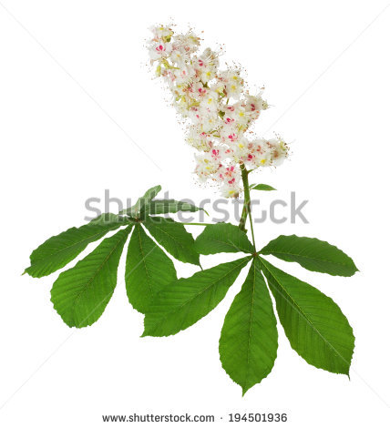 Chestnut blossom clipart #3