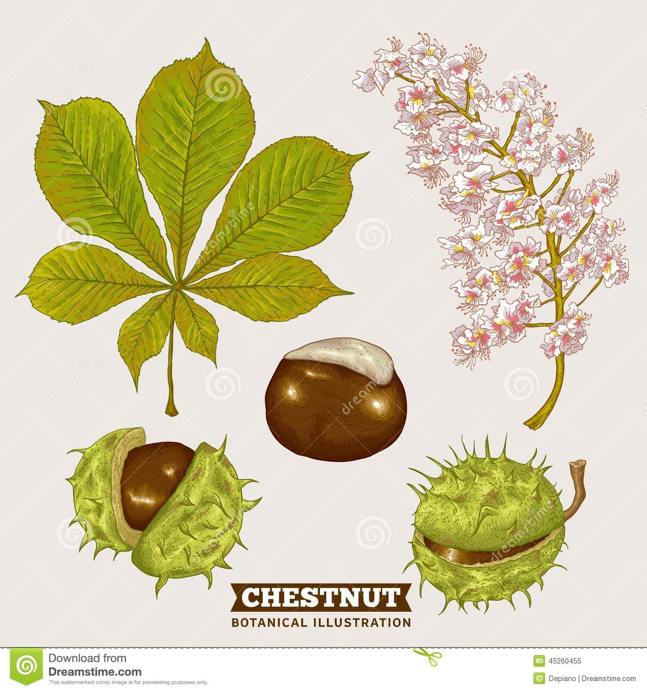 Blossom Chestnut Botanical Vector Illustration Stock Vector.