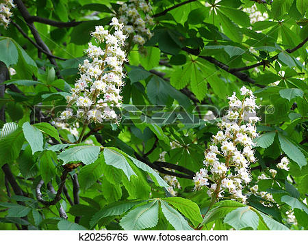 Stock Illustration of white flowers on chestnut.