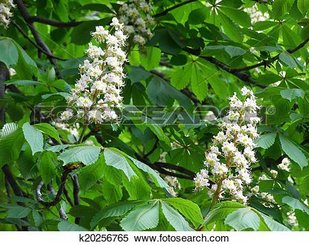 Stock Illustration of white flowers on chestnut.