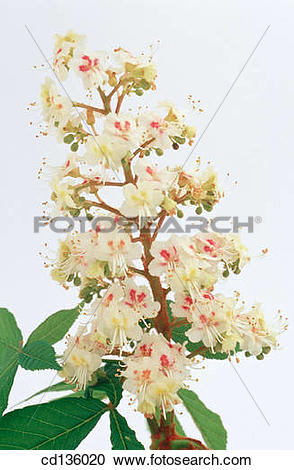 Stock Photography of Horse Chestnut flowers (Aesculus.