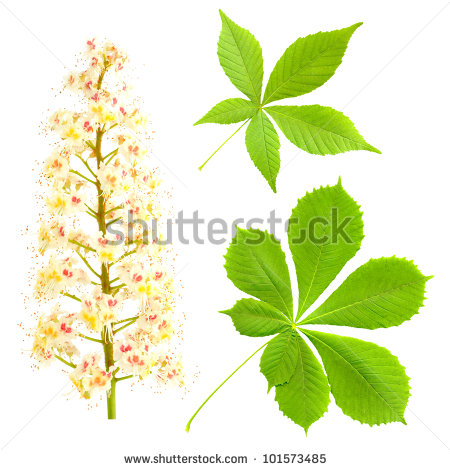 White Blossoms Chestnut Tree Stock Photos, Royalty.