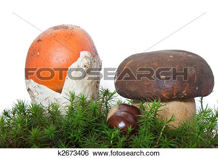 Stock Images of Amanita and Boletus mushrooms with chestnut.