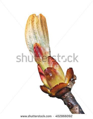 Chestnut Bud Stock Photos, Royalty.