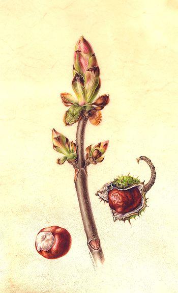 1000+ ideas about Chestnut Bud on Pinterest.
