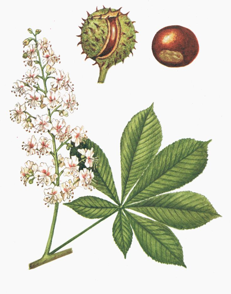 1000+ ideas about Chestnut Bud on Pinterest.