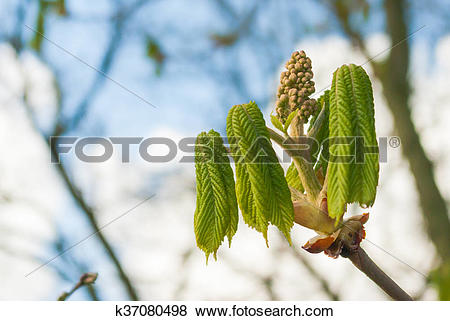 Pictures of Surprising strength of the unfolding chestnut bud.